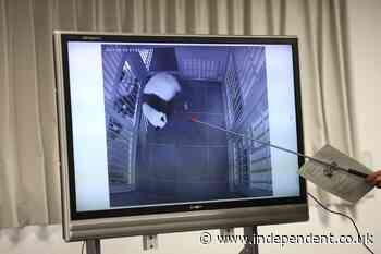 'I couldn't help but whoop': Joy at Tokyo's Ueno Zoo as giant panda gives birth to twins