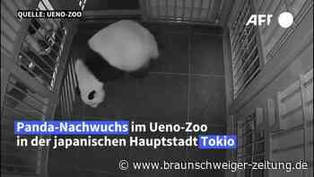 Zoo in Tokio freut sich über zweifachen Panda-Nachwuchs