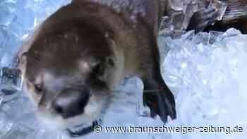 Ein Eisbad für hitzegeplagte Otter