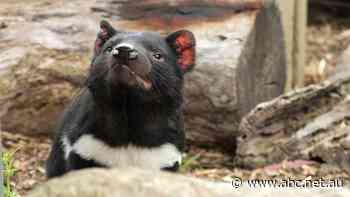 Maria Island Tasmanian devils thriving at expense of other species - ABC News