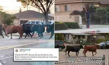 Three dozen cows escape slaughterhouse and stampede through California neighborhood