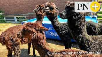 Alpakas in Lengede - so cool kann Wolle sein - Peiner Nachrichten
