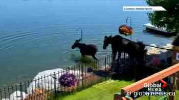 Pair of moose take a dip in Calgary lake