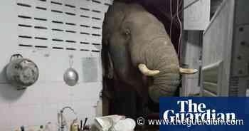 Elephant breaks into kitchen in Thailand looking for snacks – video