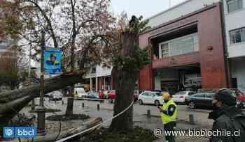 Podrido estaba árbol que cae en Plaza Independencia de Concepción y municipio dice que debía talarse - BioBioChile