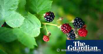 Tell us: what's your best blackberry recipe?   Food - The Guardian