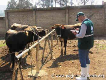 Puno: en Atuncolla destacan apoyo a los productores pecuarios gracias a la inseminación artificial del ganado - Pachamama radio 850 AM