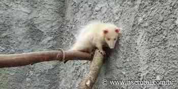 Raro gambá albino é encontrado em Porto Belo e surpreende pesquisadores | NSC Total - NSC Total