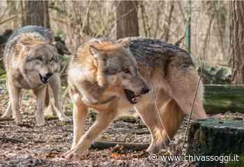 Allevatori piemontesi, bando della Regione per proteggersi dai lupi - ChivassOggi.it