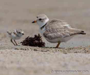 210624-news-plovers | Animals | unionleader.com - The Union Leader