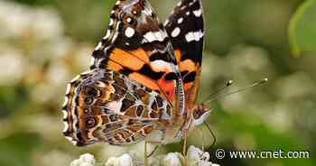 Scientists reveal how Painted Lady butterflies migrate across the Sahara desert     - CNET