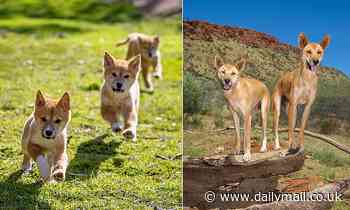 Northern Territory rangers seek homes for Alice Springs dingoes after two relocated to Adelaide Zoo