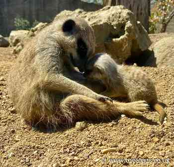 Prairie Dogs and Meerkats born at Drusillas Park in Sussex