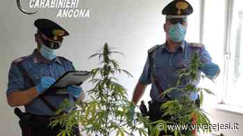 Maiolati Spontini: una serra di marijuana nel sottotetto, denunciato un 40enne - Vivere Jesi