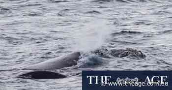 Portland rejoices as southern right whale blows in with her new calf