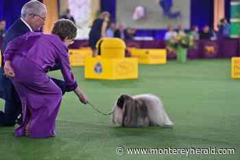 Carmel canine aficionado makes the call at Westminster - Monterey Herald