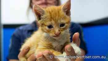 Man filmed kitten taped to firecrackers - The Daily Advertiser