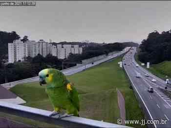 Papagaios pousam novamente em frente à câmera da CCR AutoBAn na Rodovia dos Bandeirantes - Jornal de Jundiai