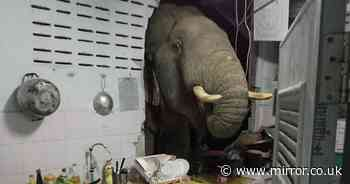 Hungry elephant crashes into family kitchen and searches for a midnight snack