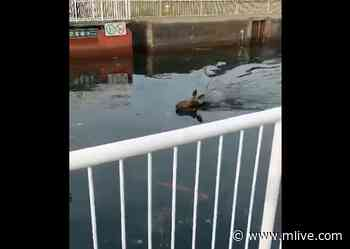 Young moose filmed swimming in Sault Ste. Marie Canal has died - MLive.com