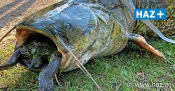 Kiessee in Göttingen: Riesiger Wels erstickt an Schildkröte