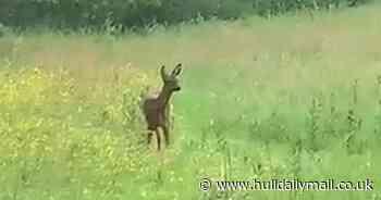 'Beautiful' footage captures deer in the wild in East Yorkshire