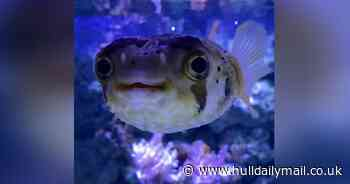 Adorable video of pufferfish at The Deep is getting a lot of love