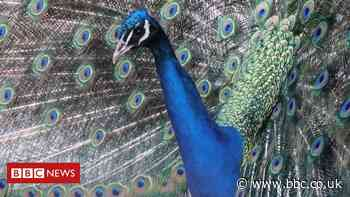 Newstead Abbey: 'King of the peacocks' dies after dog attack