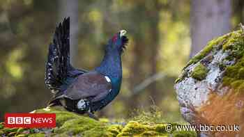 Feather DNA research in bid to save capercaillie