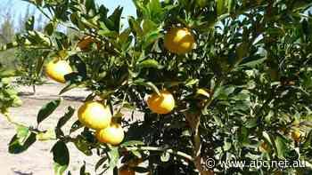 Northern Australia's biggest citrus grower sells for $220m
