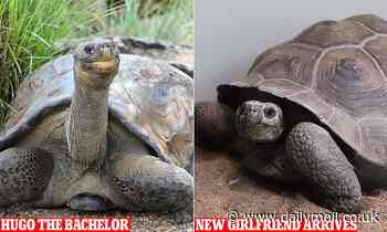 Hugo the Galapagos tortoise will finally meet his new girlfriend at the Australian Reptile Park