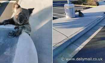 Westfield Coomera koala found distressed as camera happy shoppers take photos
