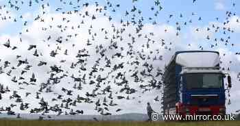 Mystery as 'worst day in pigeon racing history' sees 5,000 vanish into thin air
