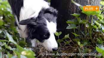 Sind in Kissing Hundeköder mit Nägeln ausgelegt worden? - Augsburger Allgemeine
