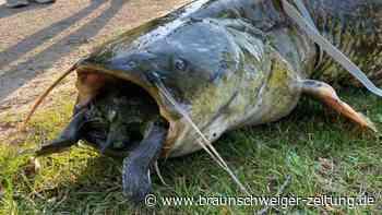 Wels verschluckt sich an Schildkröte - Beide tot