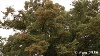 Stad Peer reikt 50.000 euro subsidie uit voor waardevolle bomen - TV Limburg
