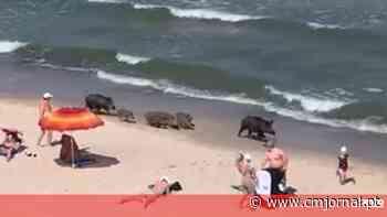 Família de javalis passeia no areal de praia cheia de banhistas - Correio da Manhã