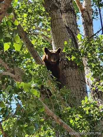 Resguardan a oso negro en Guerrero, se comió tres cerdos - El puntero