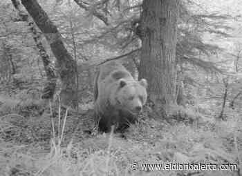 El Conselh Generau d'Aran (Lérida) confirma ataques de oso a un ovino y a colmenas - Alerta