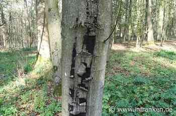 Für Mensch gefährlich: Sechs fränkische Forstämter melden Ausbruch der Rußrindenkrankheit