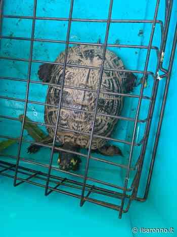 Tartaruga dalle orecchie gialle trovata a Cogliate: si cerca proprietario - ilSaronno