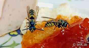 Nervende Wespen: Expertin aus Ubstadt-Weiher gibt Tipps - BNN - Badische Neueste Nachrichten