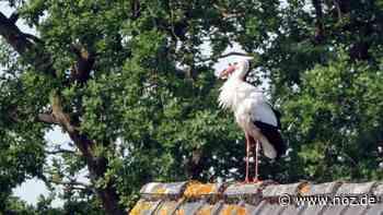 Nur auf der Durchreise? Ein Weißstorch zu Besuch in Haren-Raken - noz.de - Neue Osnabrücker Zeitung