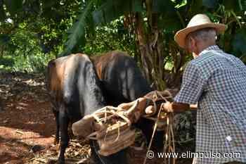 ▷ Productores de Sanare están arando con bueyes y no con tractores - El Impulso