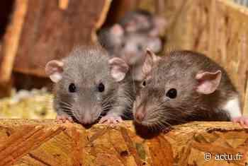 Villefranche-de-Lauragais. Une habitante appelle à l'aide alors que sa maison est envahie par des rats - actu.fr