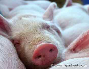 Das Tauziehen um den Schweinepreis geht weiter - agrarheute.com