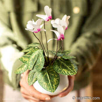 Frosted Paper Cyclamen Plant