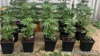Polizei stellt in Haldensleben 16 Hanfpflanzen sicher - Volksstimme