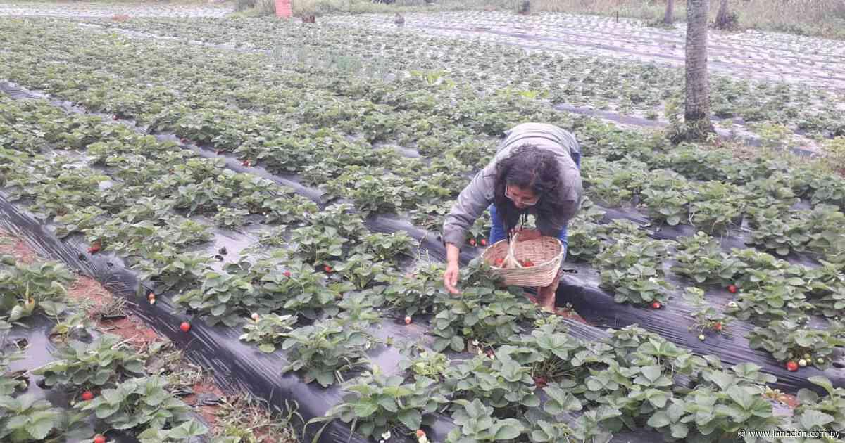 Productores de Itá preocupados ante la posible pérdida de sus productos frutihortícolas - La Nación.com.py