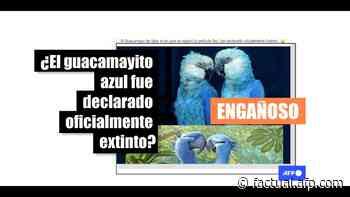 El guacamayo de Spix está extinto en la naturaleza, pero sobrevive en cautiverio - AFP Factual